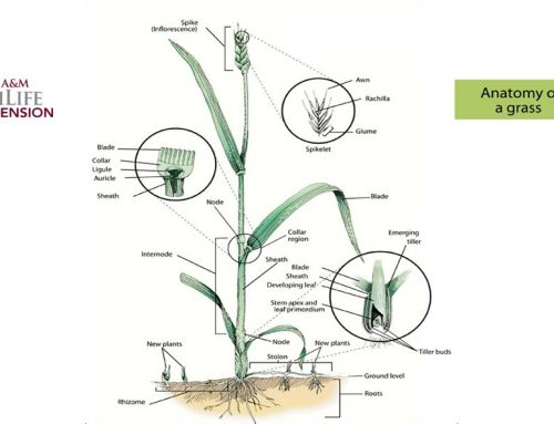 How Grasses Grow – A new website by Texas A&M AgriLife Extension Service